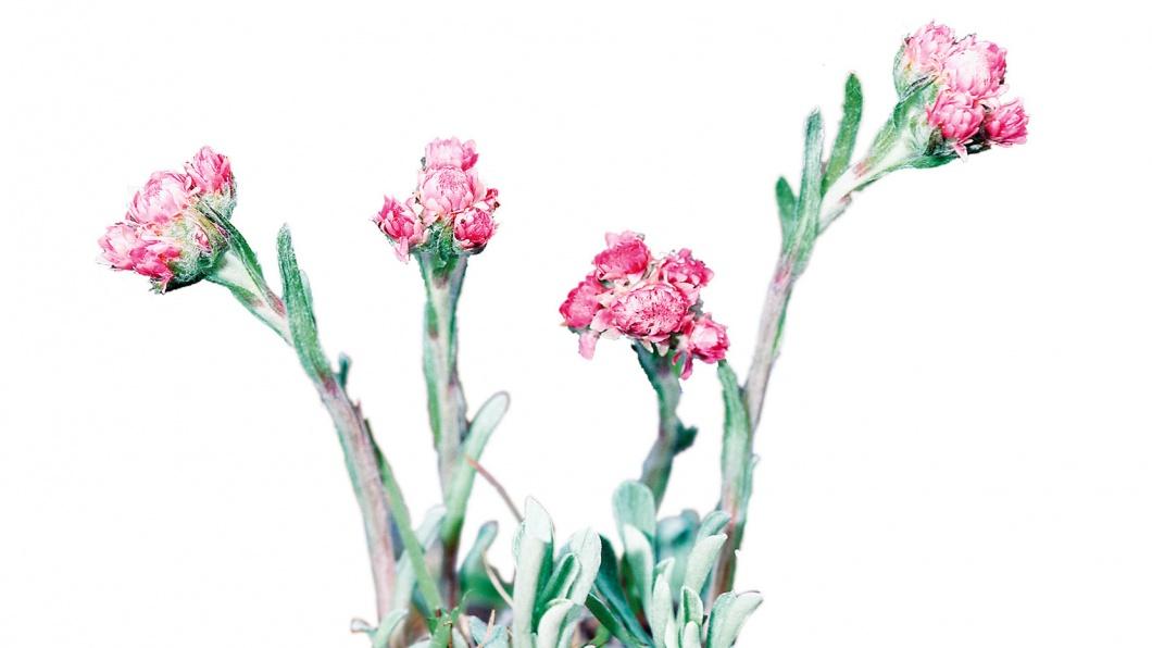 Illustration von gewöhnlichem Katzenpfötchen (Antennaria dioica), blühend