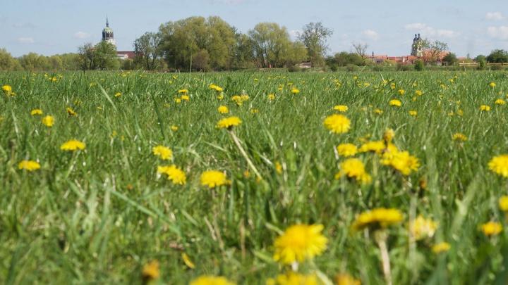 Grüne Wiese mit Löwenzahn vor Stadtpanorama von Wittenberg in der Ferne