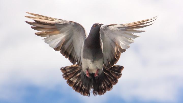 Taube mit ausgebreiteten Flügeln vor blauem Himmel.