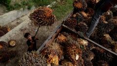 Ein Arbeiter läd Palmölfrüchte auf einen LKW, Indonesien.