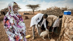 """Tierärzte der Organisation """"Tierärzte ohne Grenzen"""" impfen Ziegen und Schafe in Somalia"""