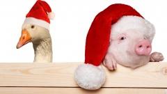 Gans und Schwein mit Weihnachtsmannmützen