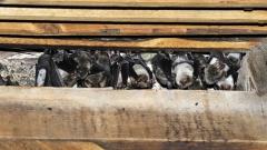 Unter dem Dachstuhl der Mosbacher Stiftskirche hat sie sich seit Jahrzehnten ein Fledermauskolonie niedergelassen.