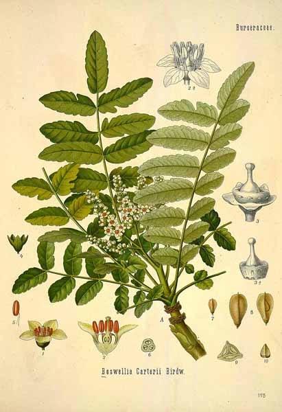 Heilpflanzen der Bibel - Weihrauch