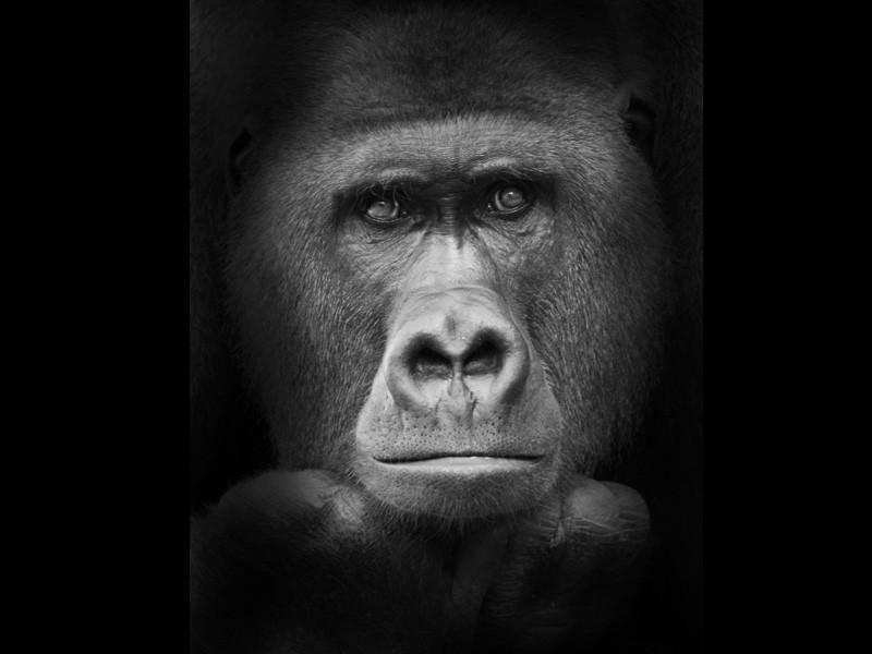 Gorilla in Trauer