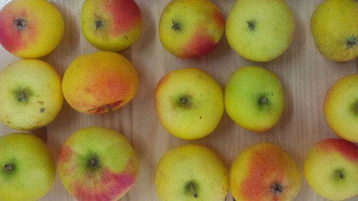 """Zum 500. Reformationsjubiläum ist eine neue Apfelsorte """"Martin Luther"""" gezüchtet worden."""