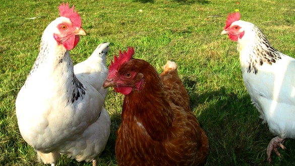 Legen Klosterhühner glückliche Eier?