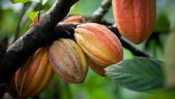 Eine positive Entwicklung für den wirtschaftlichen Aufschwung in Westafrika ist beispielsweise ein französisches Unternehmen, das Kakao vor Ort und nicht erst in Europa verarbeitet.