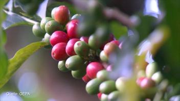 Der weite Weg der fairen Kaffeebohne