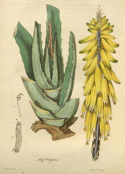Heilpflanzen aus der Bibel - Aloe
