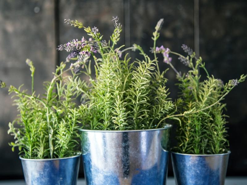 Drei Töpfe mit Lavendelpflanzen