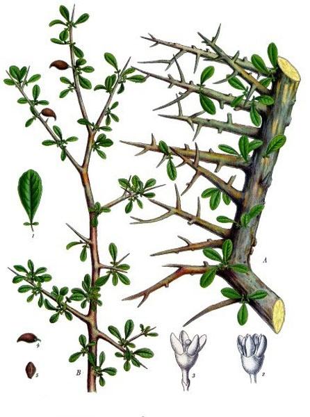 Heilpflanzen der Bibel - Myrrhe